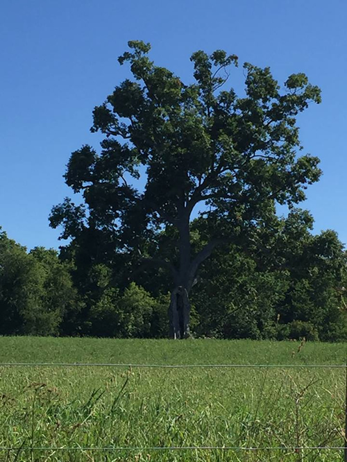 Shawshank Tree Image Submitted by Tricia Irvine