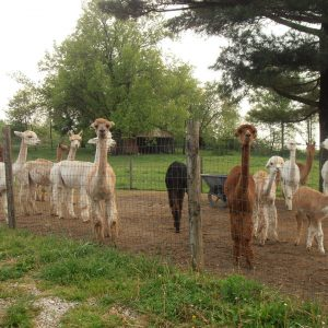 Alpaca Meadows